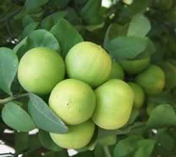 Saúde e Medicamentos de Limão