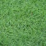 Amazing Health Benefits and Medicinal Uses of Bermuda Grass (Cynodon dactylon)