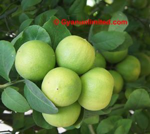 Lemon for dyspepsia