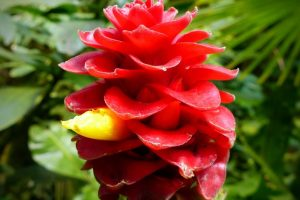 Costus (Kuth) is one of the important herbs, mentioned in Atharvaveda and Ramayana. It is used to improve the beauty of ladies, and to alleviate respiratory and mental disorders
