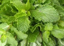 7 Wonder Benefits And Nutritional Facts Of Eating Pudina (Mint)