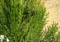 10 Wonder Benefits And Medicinal Uses Of Shatavari (Asparagus racemosus)